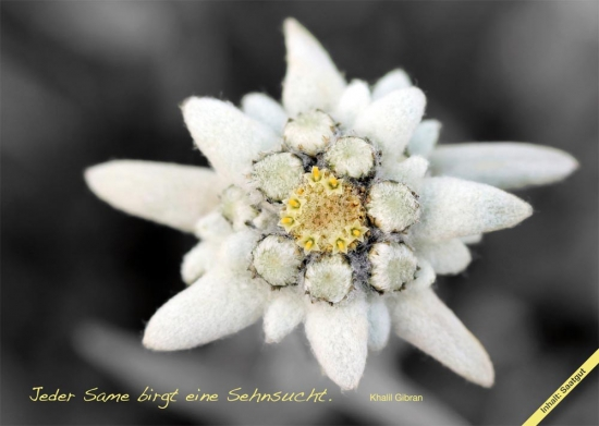 Fiorini seed postcards edelweiss, set of 10 pcs.